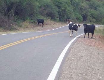 Estos animales están de manera permanente en la Ruta Nacional 68 entre Alemania y Talapampa