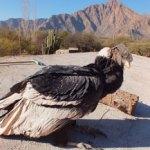 Encuentran dos Cóndores Andinos en mal estado
