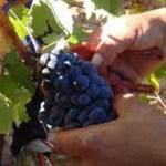 Se llevan cosechados cerca de 7,5 millones de kilos de uva