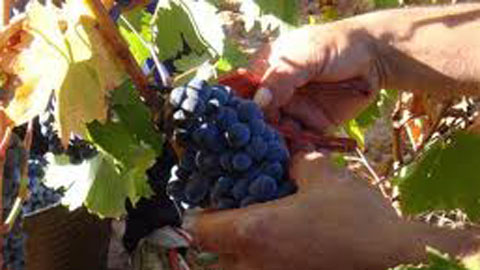 cosecha de uva