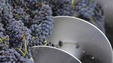 cosecha uvas en cafayate