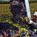 Más de 22 millones de kilos de uva cosechados