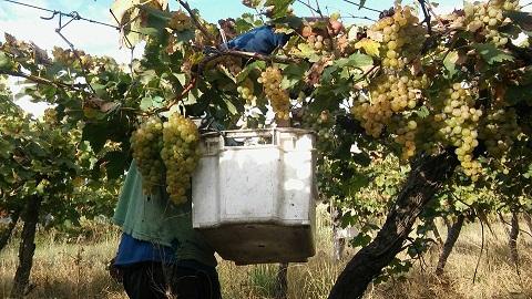 0 cafayate cosecha uva 1