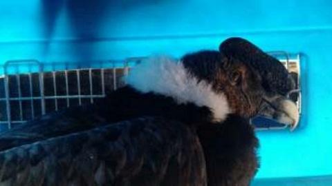 0 condor andino