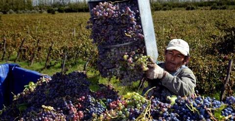 0 cosecha-de-uva-cafayate 1
