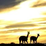 Iniciaron un relevamiento de vicuñas