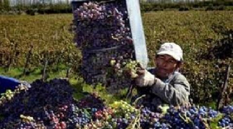 La cosecha de uva sobrepasó los 33 millones de kilos