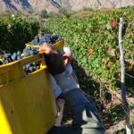 La gamela de uva tendrá un incremento del 40,17% en la cosecha 2020