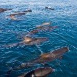Caps d'olla negre d'aleta llarga a la costa de Llafranc | Imatge d'Albert Compaña