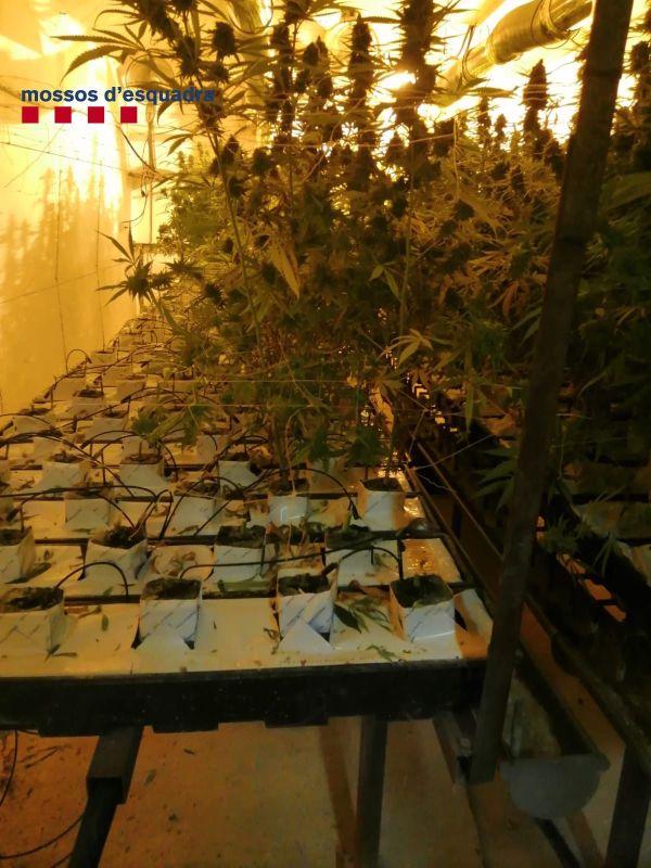 Part de la plantació de marihuana que creixia en un dels búnquers del mas de Fonteta | Imatge dels Mossos d'Esquadra
