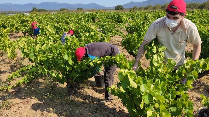 Veremadors a la vinya 'Camí de Mollet', a Garriguella - Imatge de DO Empordà