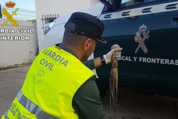 La Guardia Civil interviene 16 kilogramos de pulpo inmaduro en la localidad de Punta Umbría