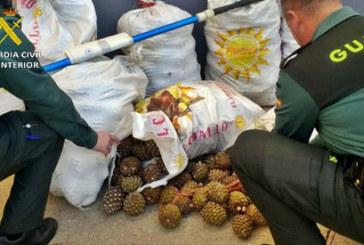 Cortegana | La Guardia Civil interviene una gran cantidad de piñas de pino piñonero