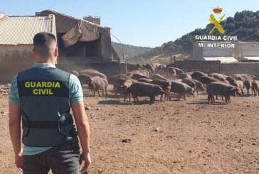 Cumbres Mayores | La Guardia Civil relaciona a cuatro personas con un robo de setenta y tres cerdos de raza ibérica en una finca de la localidad