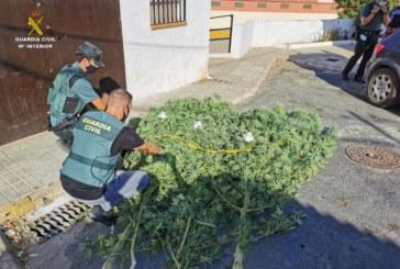 Gibraleón  | La Guardia Civil localiza una plantación de marihuana en una vivienda