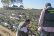 La Guardia Civil investiga a cinco personas por cultivar 20.000 plantas de arándanos de diferentes variedades sin licencia