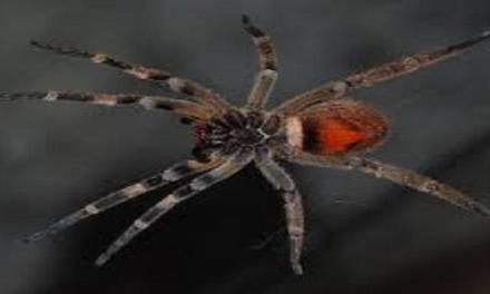 Veleno di ragno contro la disfunzione erettile