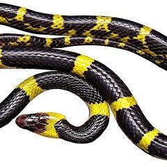 Ruba serpente da negozio infilandolo nei pantaloni