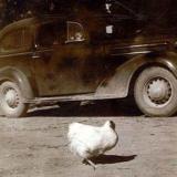 Il pollo senza testa