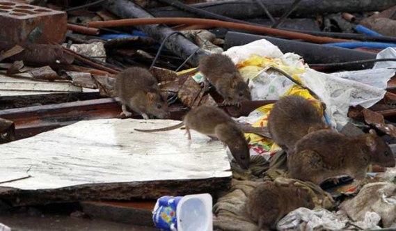 Resultado de imagen para ratas invasion