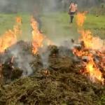 Nord-Kivu: 7 sacs de chanvre incinérés à Lubero