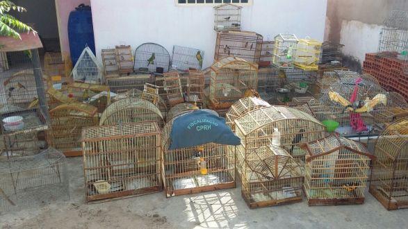 CPRH fecha rinha, apreende armas, madeira ilegal, caminhão e animais no Araripe