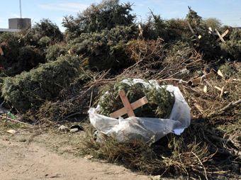 Finaliza en Hermosillo la recolección de pinos navideños