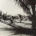 Coconut plantation on the trust farm