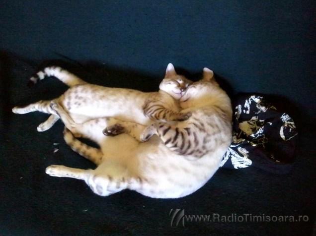 pisica bengaleza 8