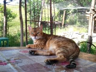 pisica bengaleza 4