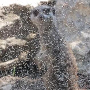 suricate zoo timisoara (7)