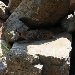 suricate zoo timisoara (8)