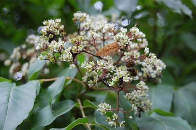 evodia copacul de miere (4)