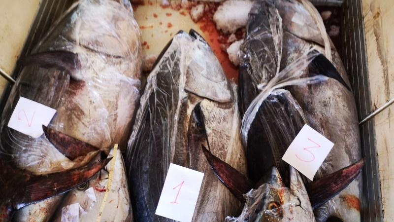 Augusta, – Polizia Stradale e Guardia Costiera,  Sequestro di 8 esemplari di tonno rosso, ammontanti a più di 2 tonnellate e mezzo, in cattivo stato di conservazione