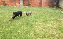 Puppies got home before their parents. Playtime. #dogsofinstagram #rottweiler #weimaraner [instagram]