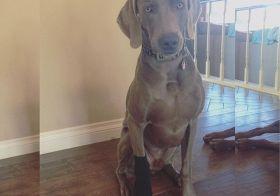 Dobby is free! ^_^ #harrypotter #hp #weimaraner #dogsofinsta #dogaunt [instagram]