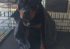 I miss this teddy bear, too. #tbt Hendrix was drying off in his kennel after a cold lap swim. He has his pops' old shirt on for warmth.. lol. #rottweiler #rottweilersofinstagram #dogaunt [instagram]
