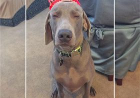 """When he knows he's been duped into wearing a """"crown!"""" lol. Miss this guy so much! He prob doesn't miss his auntie's antics, tho. #weimaraner #weimaranersofinstagram #weimaraner_feature #dogaunt #latergram [instagram]"""