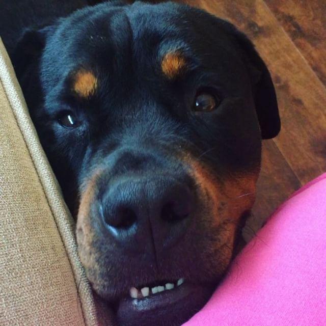 Rottweiler Love Tbt Dogsofinstagram Instagram Ex Sententia