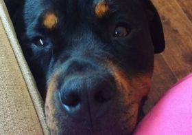 Rottweiler love. #tbt #dogsofinstagram [instagram]