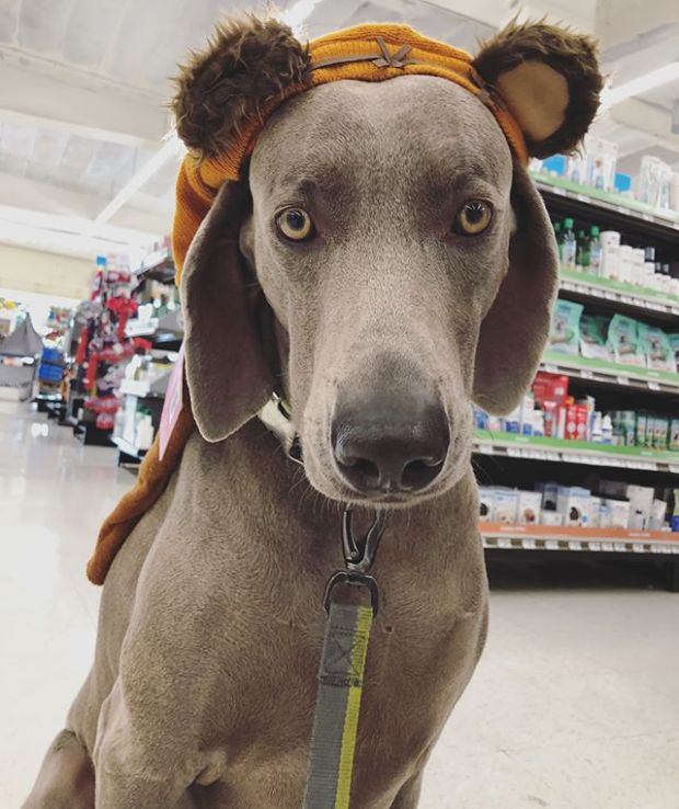"""It's #wcw right? Weimaraner crush Wednesday  Brought Kingston shopping the other day for some """"essentials"""" (i.e., treats) at @petco. We did some window shopping with the sale items and said hello to a cute kitty."""