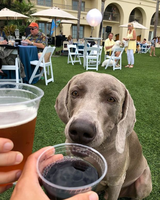 Enjoying a Chateau D'Og Cab & Blueberry beer at Yappy Hour with Kingston @hendrixandkingston