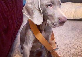 He'll grow into it. 🤣 Thanks mum for the collar! WB! #weimlove #weimaraner #puppy [instagram]