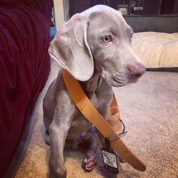 He'll grow into it. 🤣 Thanks mum for the collar! WB! #weimlove #weimaraner #puppy