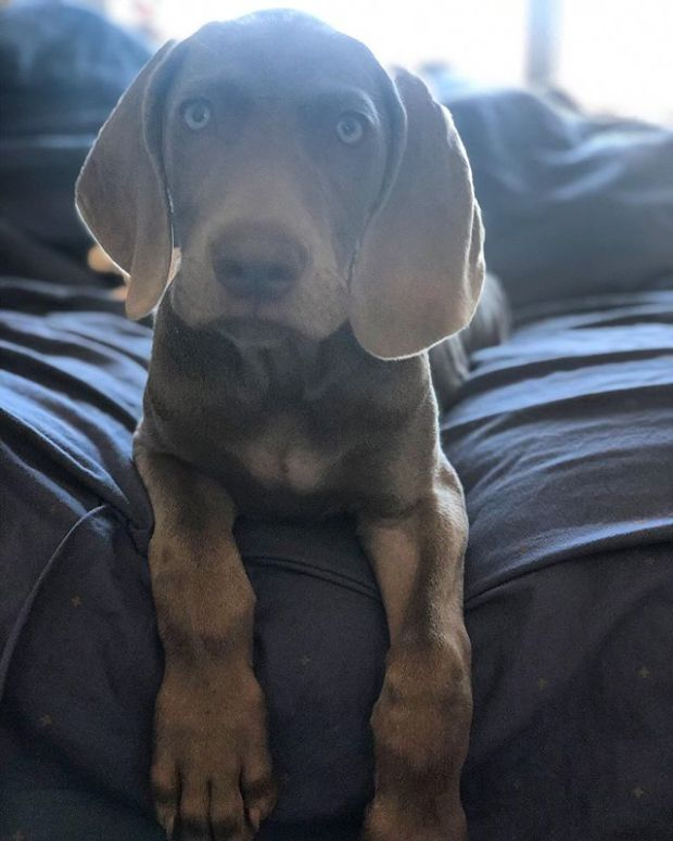 Who turned 12 weeks old today?! My Sterling is growing up too fast  #puppiesofinstagram #weimpuppy #weimaraner