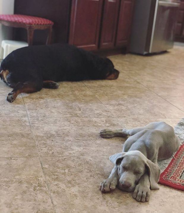 The little guy is taking a liking to Hendrix & is imitating some of his big cousin's way of sleeping on the floor with one hind leg sticking out 🤣 #Weimaraner #rottweiler