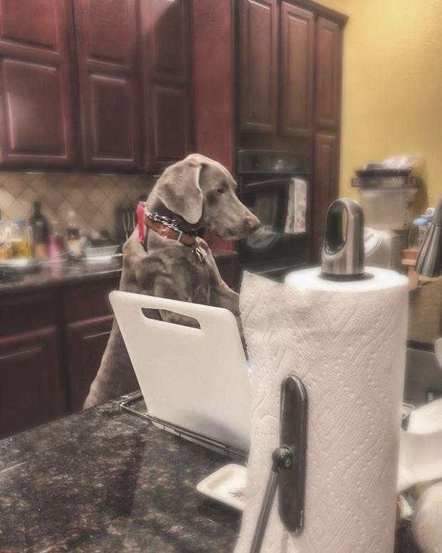 7 months old and already doing chores 🤣 #weimaraner #puppychronicles #dishwashingdog #weimcrime #dogsoflasvegas