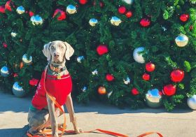 My boi. Happy Christmas! #weimaraner #weimlove #christmastree #dogsinjumpers #dogsofinstagram [instagram]