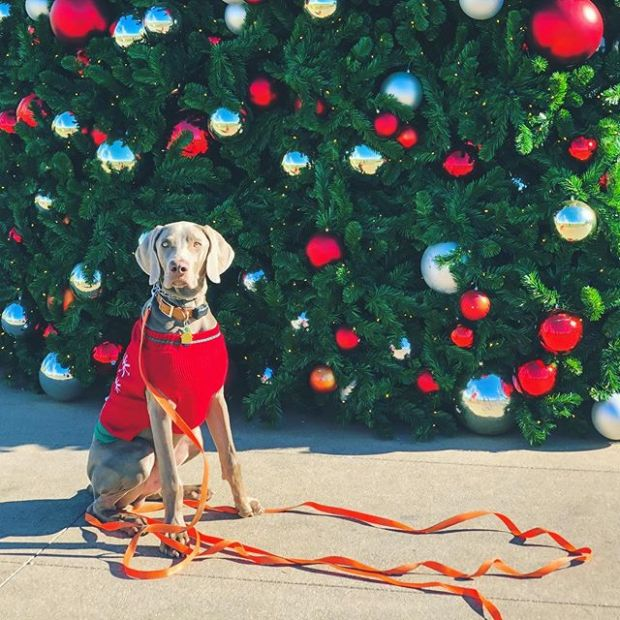 My boi. Happy Christmas! #weimaraner #weimlove #christmastree #dogsinjumpers #dogsofinstagram