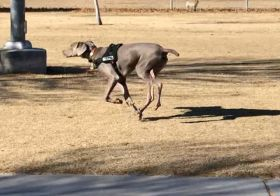 """My boi. He turns 7 months tomorroz (December 29th) and has been great with recall at the dog park! In this instance, @sterlingd.weim went to say """"hi"""" to the Great Dane and then returned to where I was supposed to be waiting… He didn't know that I was close by. Obvs he found me when I called his name 🤗 #puppychronicles #weimaraner #weimlove #dogsofinstagram [instagram]"""